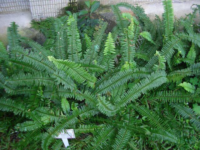 山槟榔,蜈蚣草