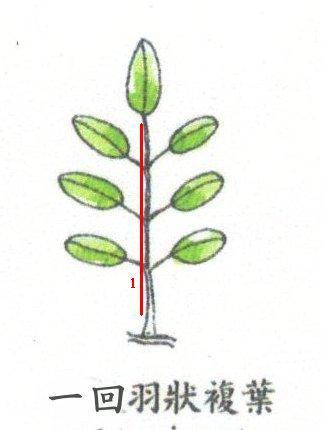依叶柄长的位置不同 依叶柄上叶子数目来分